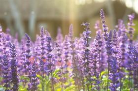 Kadulja – biljka na glasu svetosti