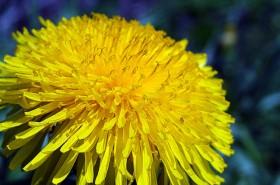 Korijen maslačka za proljetnu detoksikaciju