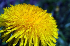 Maslačak – žuti čistač organizma