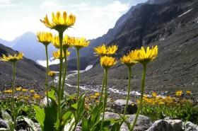 Arnika – planinska biljka koja liječi sve tegobe