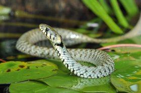 Ugriz zmije – prepoznajte i reagirajte na vrijeme