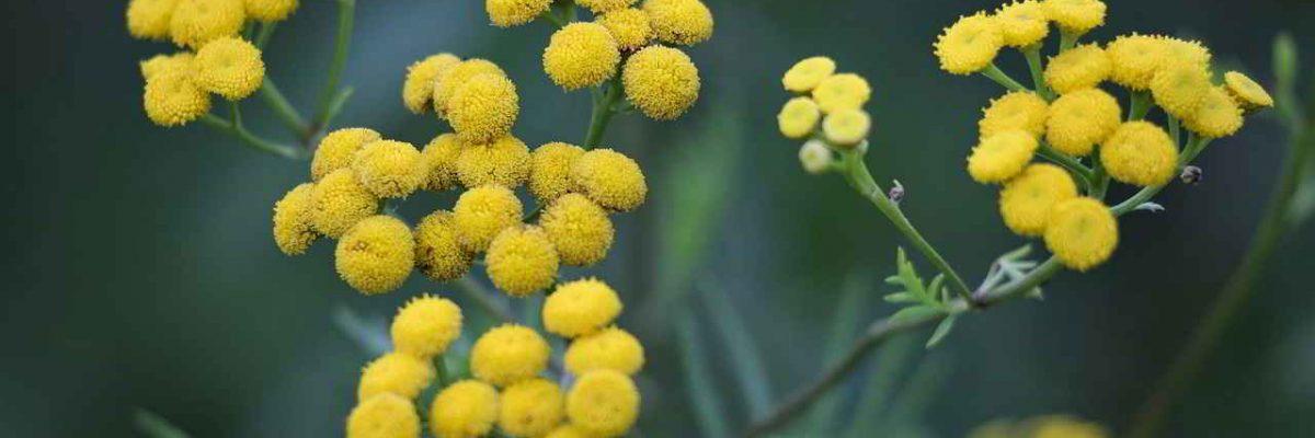 Smilje – čudotvorna biljka za vječnu ljepotu